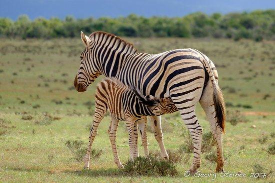 Addo Elephant National Park, Νότια Αφρική: Baby Zebra drinking