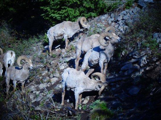 BrushBuck Wildlife Tours - Day Tours : photos from 4-day Yellowstone / Grand Teton trip, May 2017