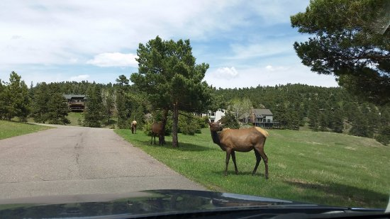 Evergreen, CO: Driving around the corner from here is Lariat Lodge .. Elk and deer are seen here