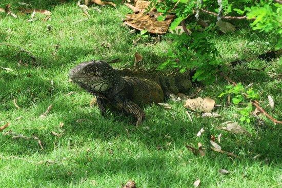 Punta Culebra Nature Center: Free roaming iguanas. You can get really close to them!