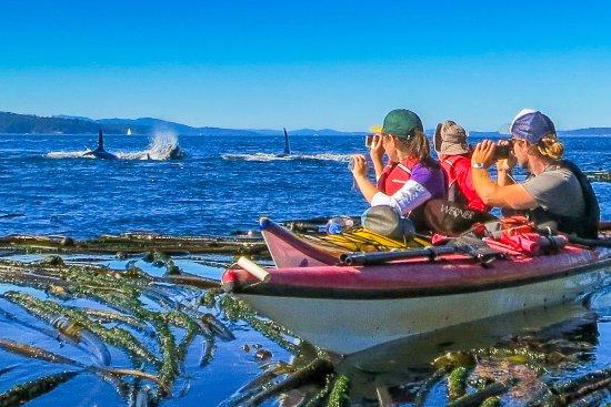 Friday Harbor, WA: Guests of Crystal Seas Kayaking encountering orca whales.