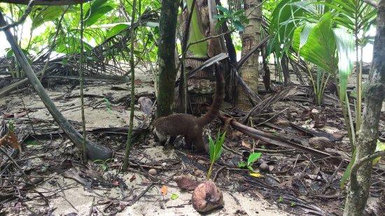 Cahuita, Costa Rica: un agouti !