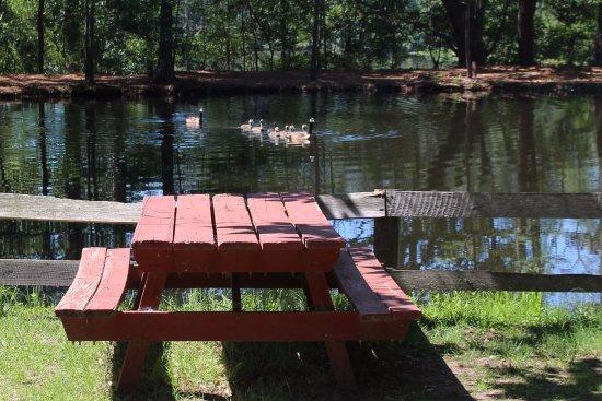 Τίφτον, Τζόρτζια: Geese and goslings on the grist mill pond at Georgia Museum of Agriculture and Historic Village