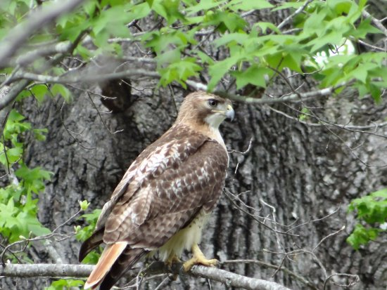 Hohenwald, TN : Red-tail hawk