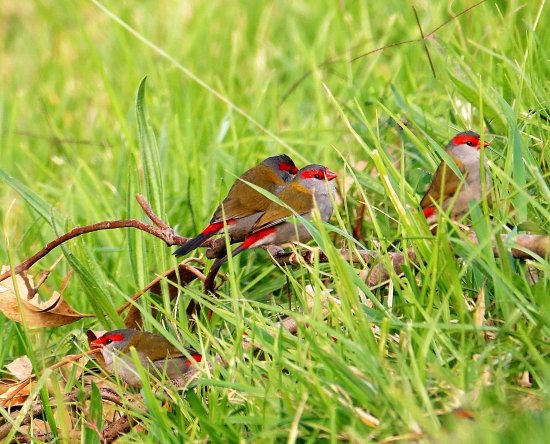 Ferntree Gully, Australia: Red brow finhes relaxing in the grass