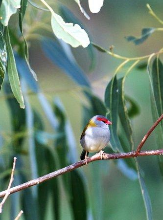 Ferntree Gully, Australien: Red brow finch in gumtree