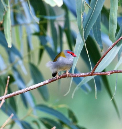 Ferntree Gully, Australia: Red brow finch do a balancing act, a bit windy