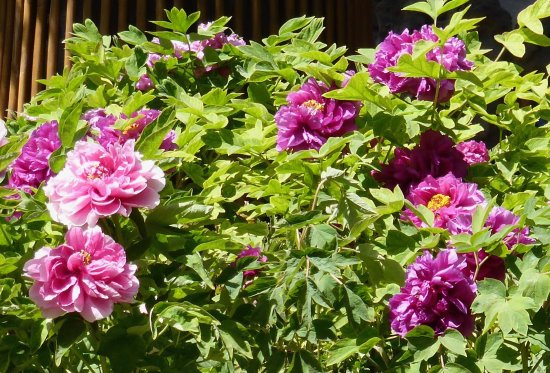 The Imperial Garden of The Palace Museum : Peony Flowers1