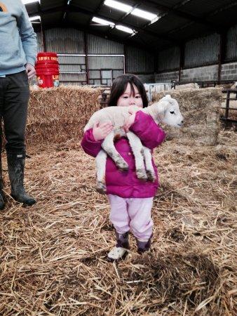 Llanidloes, UK: Lambing at the farm