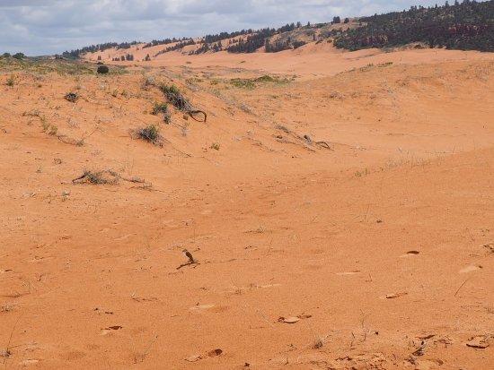 Coral Pink Sand Dunes State Park: Písečné duny s přízemním porostem