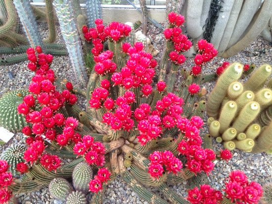 Barberino Val d'Elsa, Italie : maggio fioritura della CACTACEAE ACANTHOCAL. THIONAN.V.COPIPOIDES sono stati contati 214 fiori !