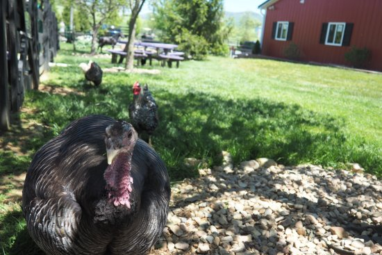 Harrisonburg, VA: Turkey & Chickens will follow you, but are not for petting; tables for picnic in the background