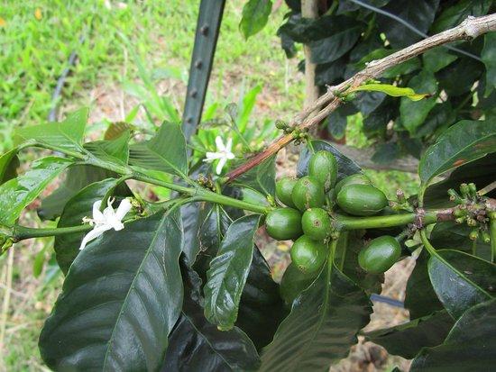 Kealakekua, Havai: Coffee Beans