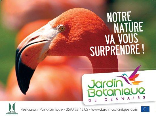 Deshaies, Guadeloupe: les flamants caribéens sont une attraction majeure du jardin botanique
