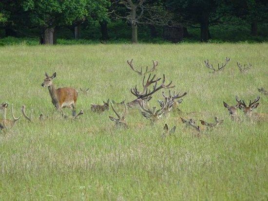 Richmond, UK: Antlers ahoy!