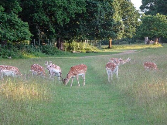Richmond, UK: More deer