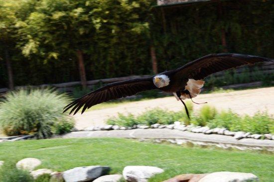 Falconeria Locarno: Eagle