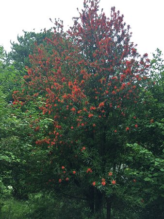 Leicestershire, UK: The fire tree in bloom