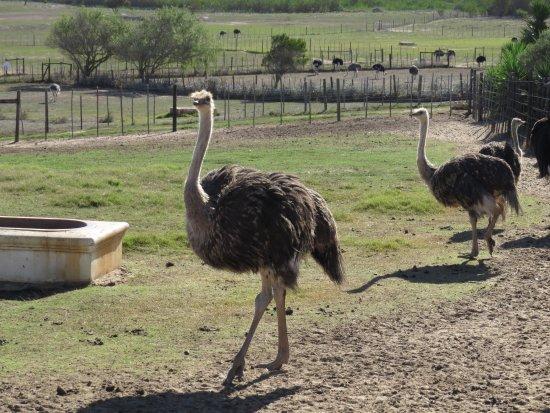 Νότια Αφρικανική μεγάλο πουλί