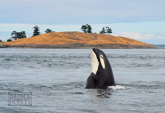 Lonesome Cove Resort: Southern Resident Orca makes an appearance at Lonesome Cove