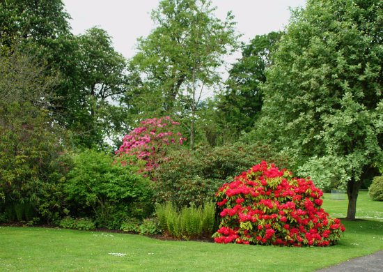 Perth, UK: Glorious Rhododendrons in flower