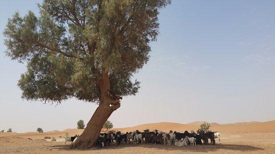 It's 4 You Tours : Un tamaris abrite les chèvres de la chaleur.