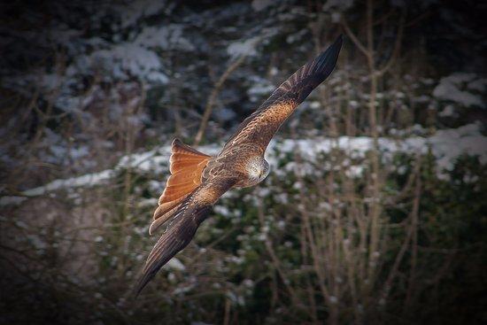 Goldau, Suiza: Red kite