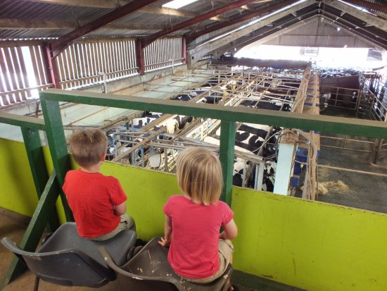 Swindon, UK: the children were very interested in watching the milking.