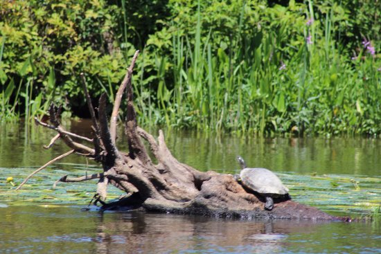 Murrells Inlet, Karolina Południowa: Turtles are in abundance and the scenery is beautiful.