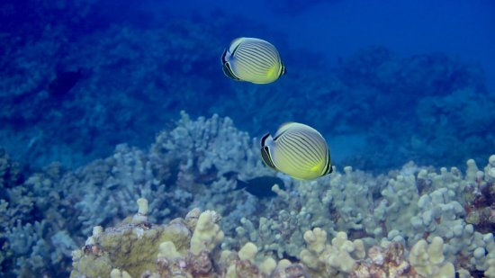 Molokai Fish & Dive Center: Pair of Oval Butterflyfish