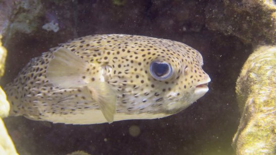 Molokai Fish & Dive Center: Giant Porcupinefish