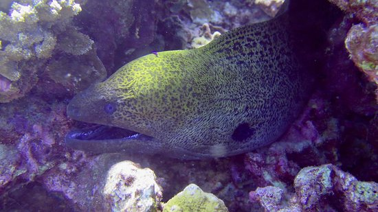Molokai Fish & Dive Center: Java or Giant Moray Eel