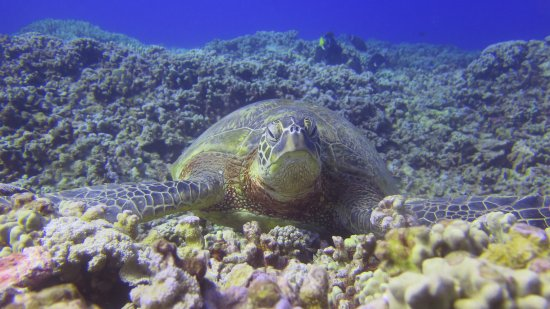 Kaunakakai, HI: Green Sea Turtle cleaning station