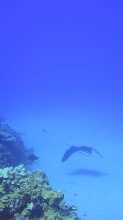 Kaunakakai, HI: Spotted Eagle Ray