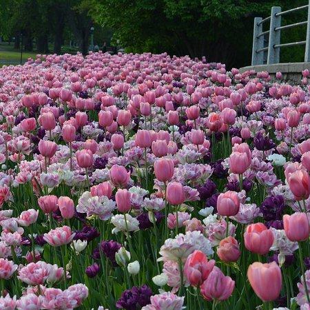 أوتاوا, كندا: Canadian Tulip Festival