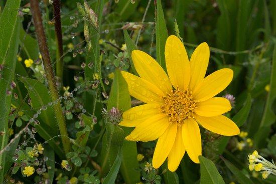 Bolinas, Californië: Wild flower