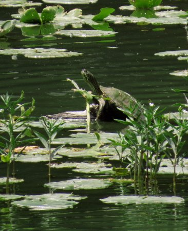 Menard, เท็กซัส: Turtle in the Rio San Saba