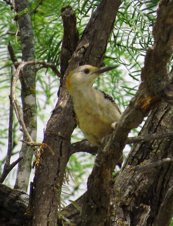 Menard, TX: Golden-fronted woodpecker