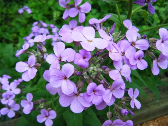 Chesterton, IN: Phlox were everywhere!