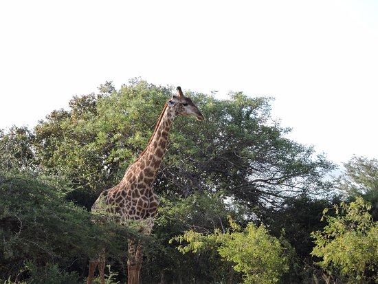 Falaza Game Park & Spa: Giraffe in lush bush