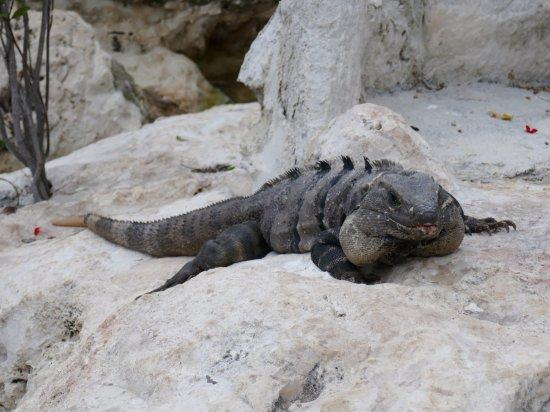Presidente InterContinental Cancun Resort: iguana