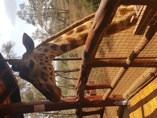 African Fund for Endangered Wildlife (Kenya) Ltd. - Giraffe Centre: 20170415_142944_large.jpg