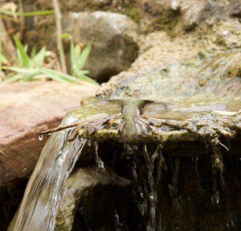 Tucume, Peru: das morgendliche Bad der Kolibris