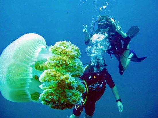 Mae Nam, Thaïlande : Sail Rock: Lioness Jellyfish