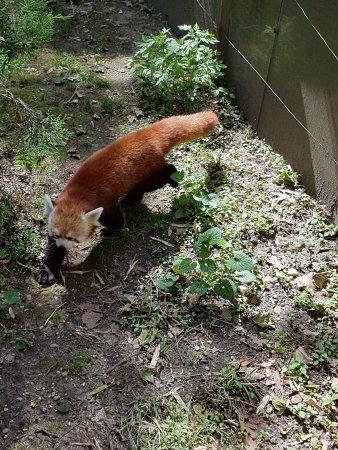 Central Park Zoo: Panda Roux