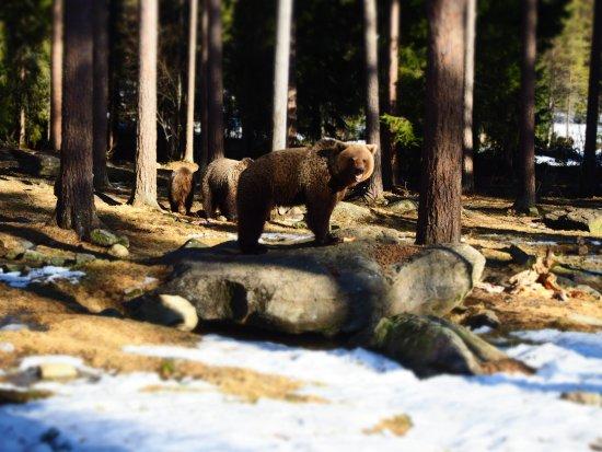 Martinselkonen Wilds Centre: Bear
