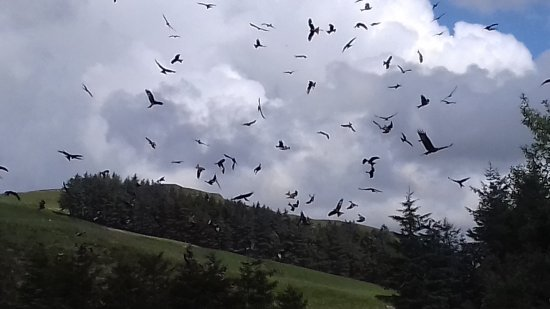 Aberystwyth, UK: Red Kites being fed