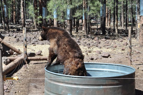 Williams, AZ: Catching the bears close enough to get a good look was pretty much hit or miss