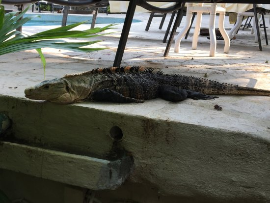 Falls Resort at Manuel Antonio : Pool iguana