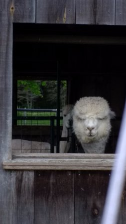 Whately, MA: Hitchcock Alpaca #1